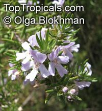 Westringia fruticosa, Native Rosemary, Coastal Rosemary   Click to see full-size image