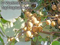 Actinidia deliciosa, Chinese Gooseberry, Kiwi Fruit  Click to see full-size image
