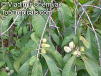 Asimina triloba, Pawpaw, American Custard Apple, West Virginia Banana, Indiana Banana  Click to see full-size image