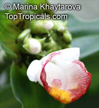 Costus lucanusianus, African Spiral Flag  Click to see full-size image