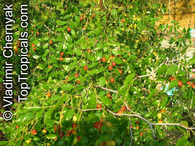 ziziphus jujuba indian jujube chinese date