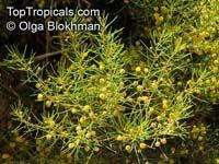 Acacia nematophylla, AcaciaClick to see full-size image