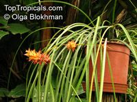 Acanthostachys strobilacea , Pinecone Bromeliad