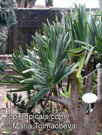 Aloe plicatilis, Fan Aloe  Click to see full-size image