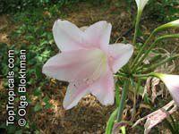 x Amarcrinum, x Crinodonna , Amarcrinum  Click to see full-size image