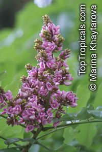 Andira inermis, Geoffroea inermis , Cabbage Tree  Click to see full-size image