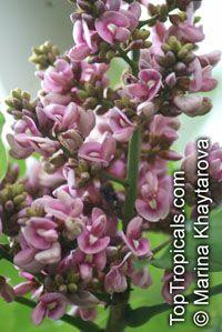 Andira inermis, Geoffroea inermis , Cabbage TreeClick to see full-size image