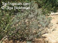 Anthyllis barba-jovis, Silver Bush, Jupiter's BeardClick to see full-size image