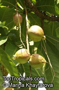 Barringtonia racemosa, Putat Kampung, Fish-killer Tree, Fish-poison Wood, Freshwater MangroveClick to see full-size image
