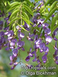 Bolusanthus speciosus - Tree Wisteria  Click to see full-size image