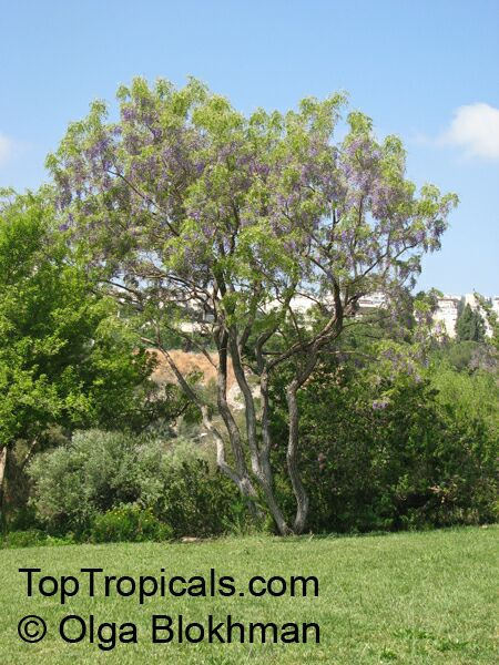 Bolusanthus Speciosus Tree Wisteria Vanwykshout Mogaba