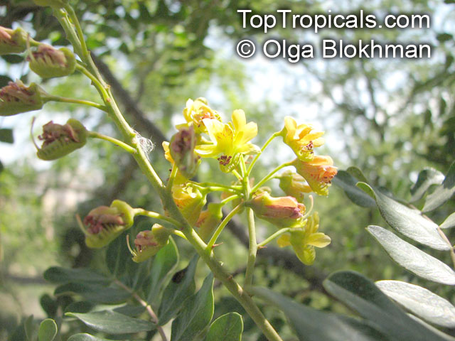 application of the dye from caesalpinia The caesalpinia group is a large pantropical clade of ca 205 species in  subfamily caesalpinioideae (leguminosae) in which generic delimitation has  been in a.