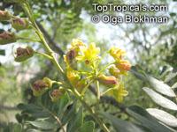 Caesalpinia spinosa, Tara, Spiny Holdback  Click to see full-size image