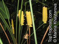 Calathea crotalifera, Rattlesnake Plant, Rattle Shaker, Rattlesnake Ginger, Yellow Rattleshaker  Click to see full-size image