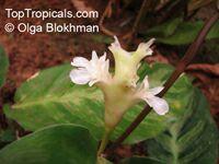 Calathea lietzei , CalatheaClick to see full-size image