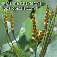 Calathea lutea, Cigar Calathea  Click to see full-size image