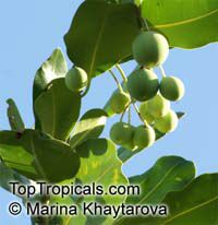 Calophyllum inophyllum, Alexandrian Laurel, Beauty Leaf, Oil-nut Tree, Tamanu, Mastwood   Click to see full-size image
