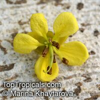 Cassia siamea - seeds  Click to see full-size image