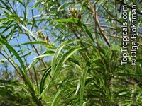 Chilopsis linearis, Desert WillowClick to see full-size image