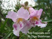 Chilopsis linearis, Desert Willow  Click to see full-size image