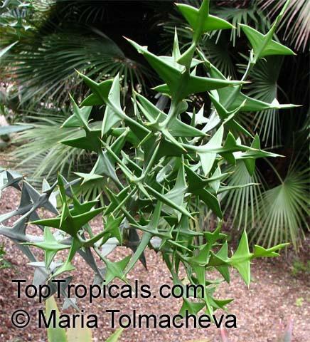 ... paradoxa, Colletia cruciata , Anchor PlantClick to see full-size image