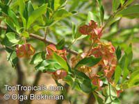 Combretum kraussii , Forest Bushwillow   Click to see full-size image