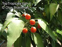 Cordia caffra, Septee, Saucer-berryClick to see full-size image