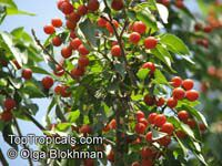 Cordia caffra, Septee, Saucer-berry  Click to see full-size image
