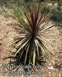 Cordyline australis, Cabbage Tree  Click to see full-size image