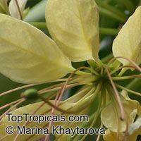Crateva religiosa , Sacred Garlic Pear, Temple PlantClick to see full-size image