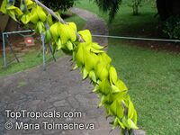 Crotalaria agatiflora , Canary Bird Bush  Click to see full-size image