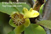 Dillenia ovata, Kadah Simpoh, Simpoh BeluduClick to see full-size image