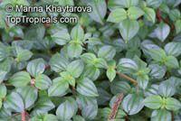Dissotis rotundifolia, Heterocentron elegans, Trailing Tibouchina, Dwarf Tibouchina, Spanish Shawl   Click to see full-size image