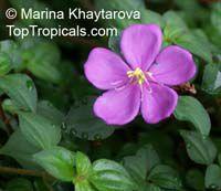 Dissotis rotundifolia - Spanish Shawl  Click to see full-size image