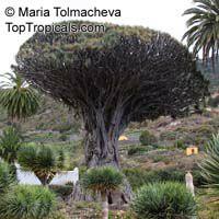 Dracaena draco, Dragon Tree Click to see full-size image