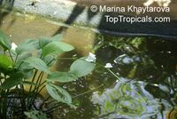Echinodorus palaefolius, Mexican Sword-Plant   Click to see full-size image
