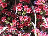 Echium wildpretii, Tower of Jewels   Click to see full-size image