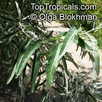 Elaeagnus angustifolia, Russian Silverberry, Oleaster, Russian Olive  Click to see full-size image