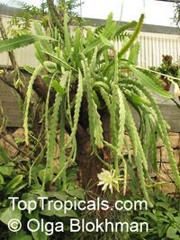 Epiphyllum sp., Orchid Cactus, Leaf Cactus  Click to see full-size image