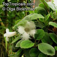 Alsobia dianthiflora, Episcia dianthiflora, Lace Flower  Click to see full-size image