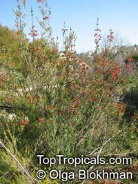 Erica chloroloma, Red Heath  Click to see full-size image