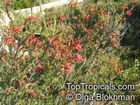 Erica chloroloma, Red Heath