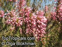 Erica multiflora, Mediterranean Heath  Click to see full-size image