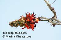 Erythrina variegata, Erythrina indica, Coral Tree, Sunshine Tree  Click to see full-size image