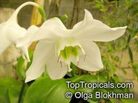 Eucharis grandiflora, Amazon Lily  Click to see full-size image