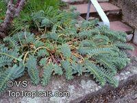 Euphorbia myrsinites , Myrtle Euphorbia, Donkeytail Spurge  Click to see full-size image