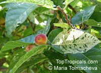 Ficus aspera, Variegated Clown Fig, Mosaic Fig   Click to see full-size image
