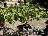 Ficus obliqua, Queensland Small-leaved Fig  Click to see full-size image