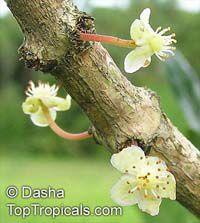 Garcinia livingstonei, Lowveld Mangosteen, Imbe, RheediaClick to see full-size image