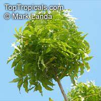 Harpephyllum caffrum, Wild PlumClick to see full-size image